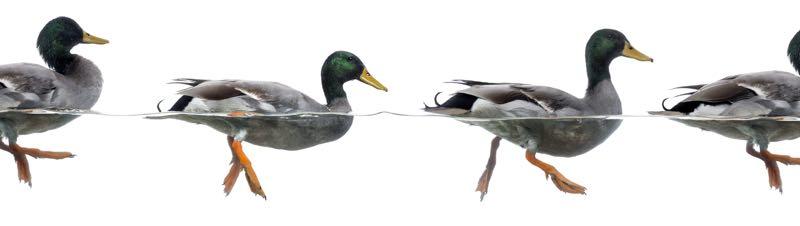 duckduckheader-rb.jpg